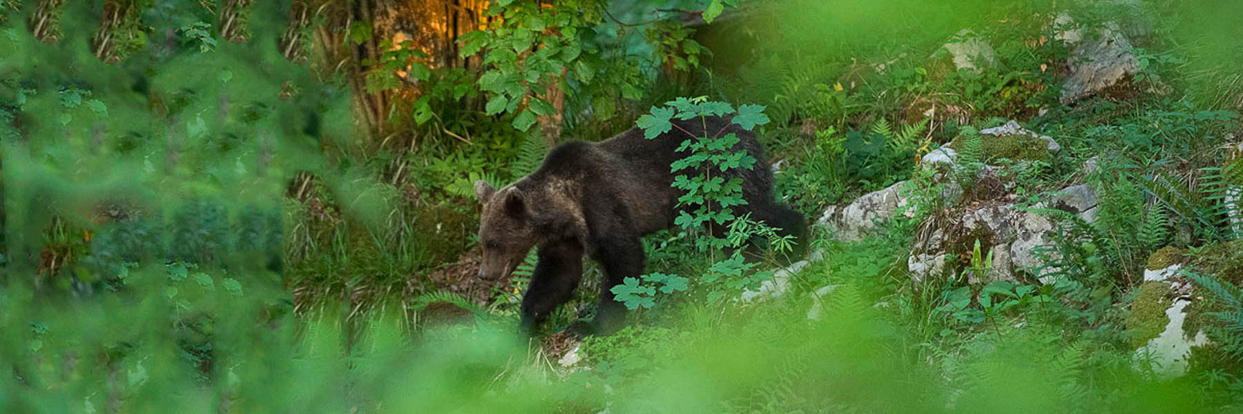 Spotting Brown bears of Slovenia