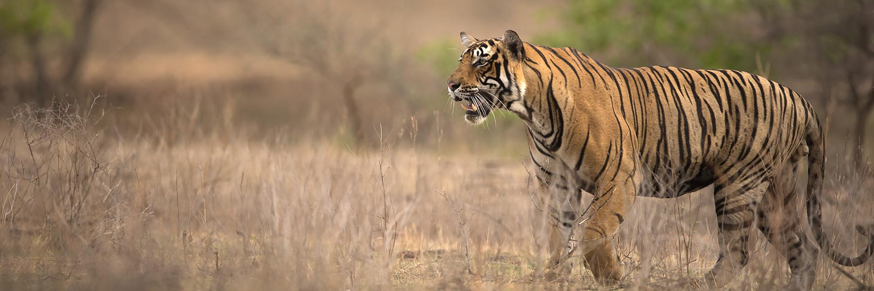 ranthambhore tiger kill