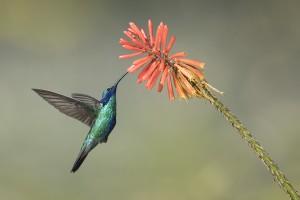 Wild voyager ecuador birding tours
