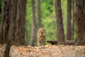 Tigers of India photo gallery
