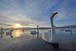 whoper swans in japan