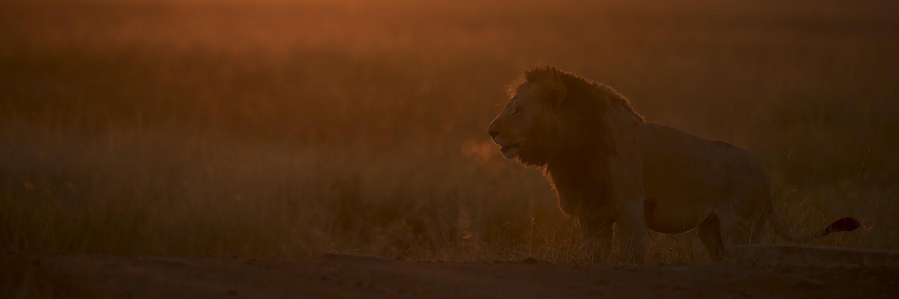 Lion safari in africa