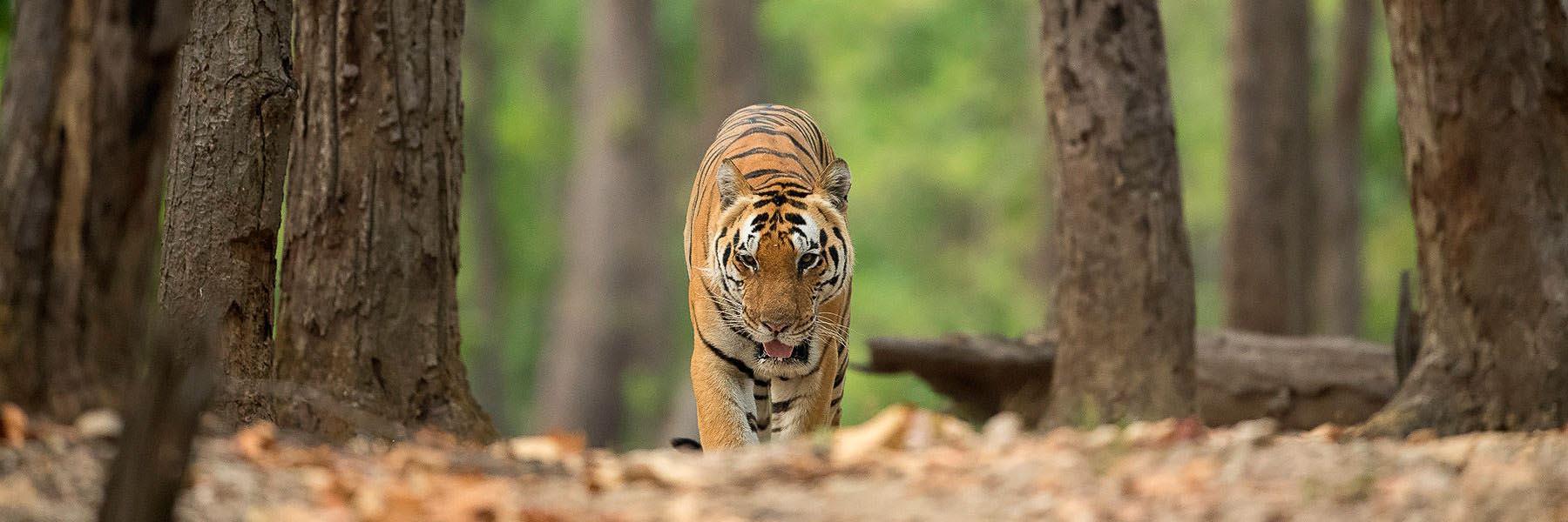 Tiger safaris in India