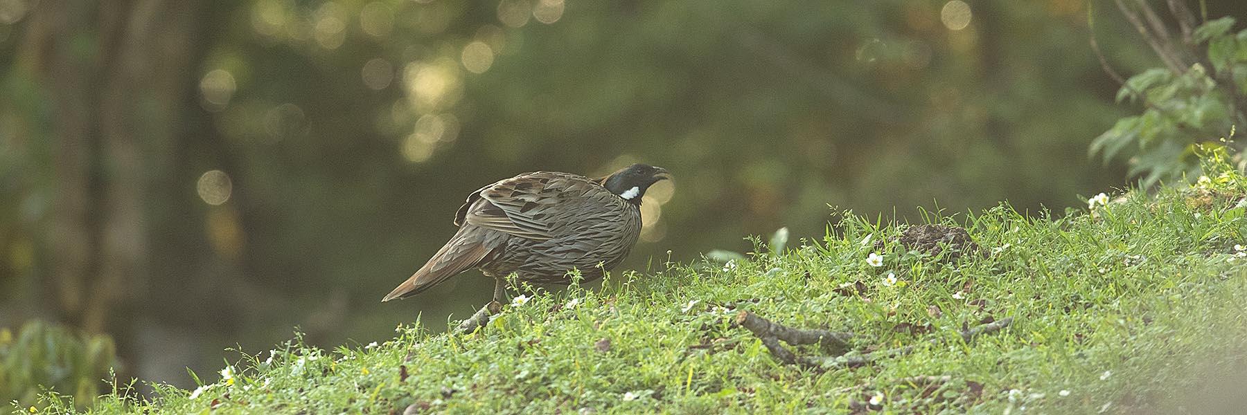 Chopta Sattal Birding