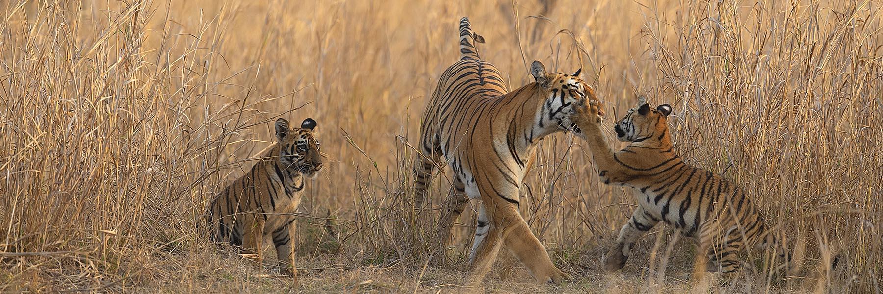India Tiger Marathon