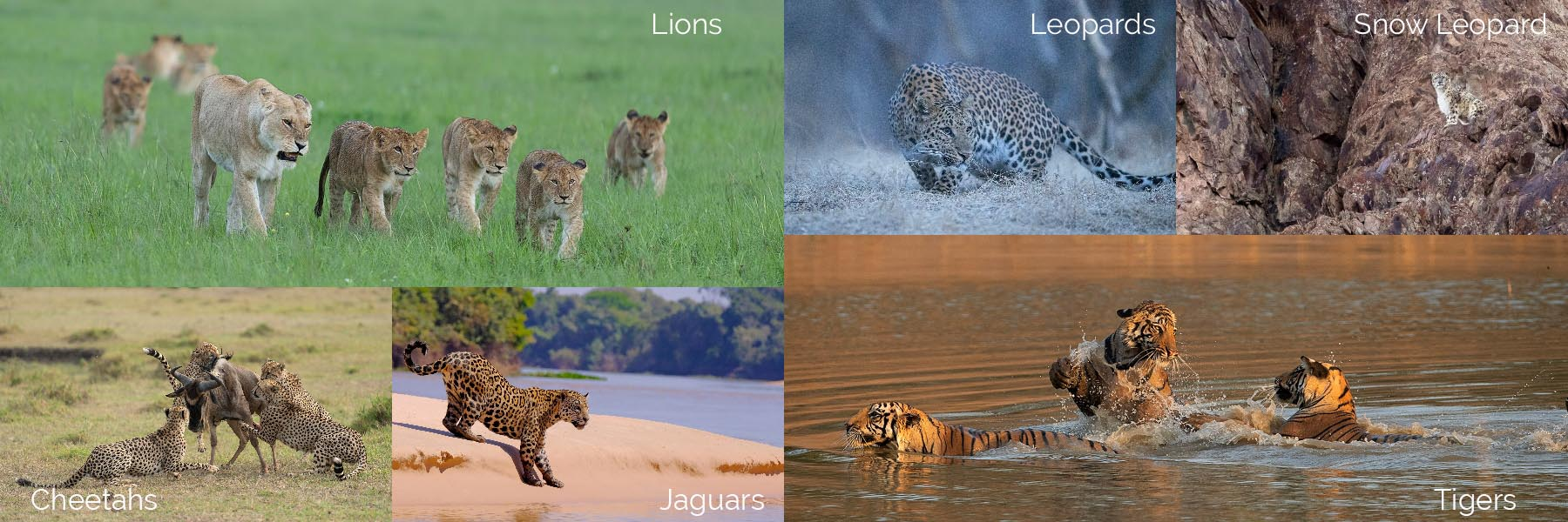 Big cat safaris around the world