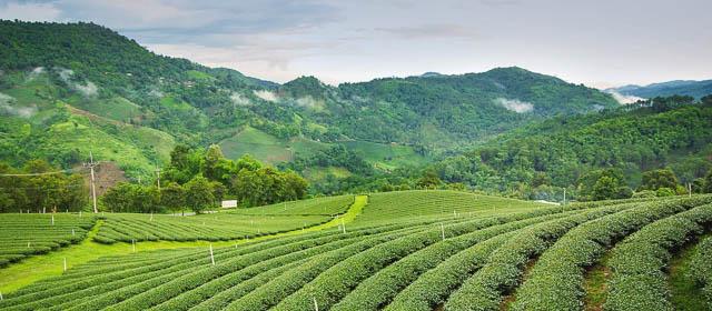 tea garden in darjeeling west bengal