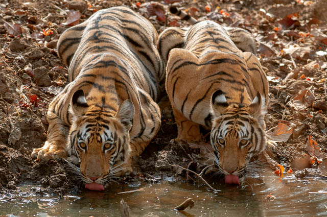 two young tigers drinking water in tadoba andhari tiger reserve
