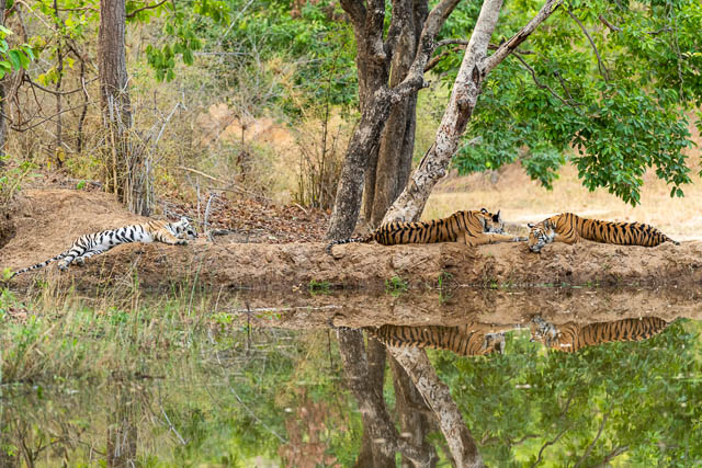 tigers resting near a water body in bandhavgarh national park, madhya pradesh