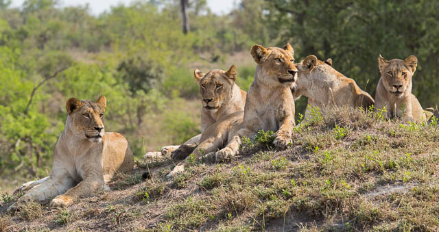 lions resting on anthill in sabi sands game reserve, south africa