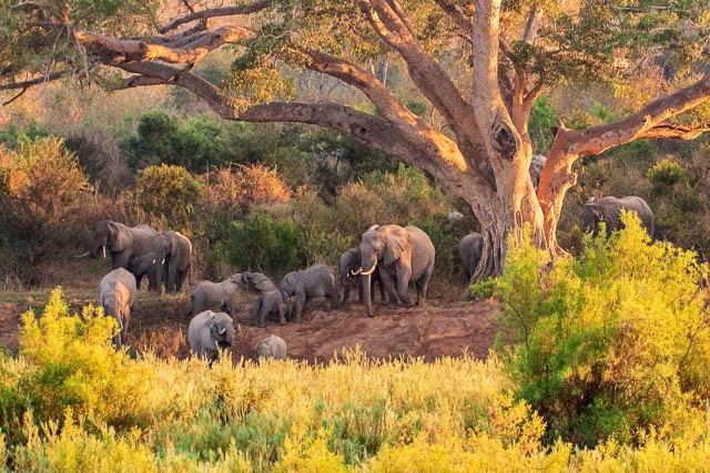 elephants in kruger national park, south africa