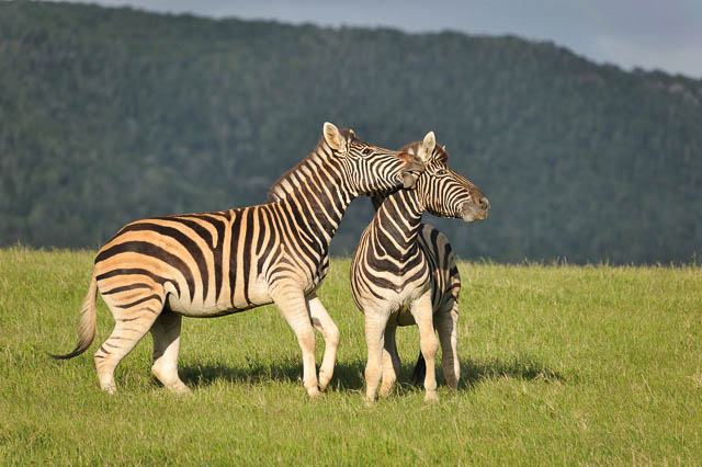 zebras playing in kariega game reserve, south africa