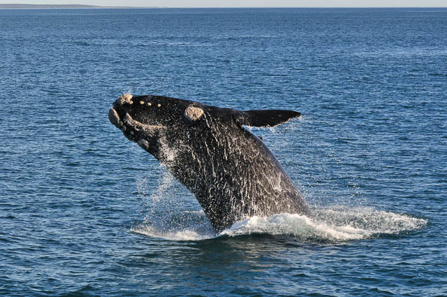 a southern right whale breaching in walker bay, hermanus, south africa