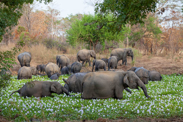 herd of elephants in water hyacinth in wasgamuwa national park, sri lanka