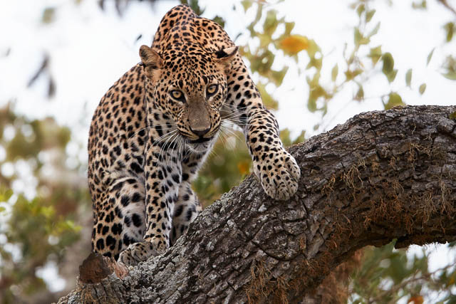 male leopard on a tree staring directly at camera in yala national park, sri lanka