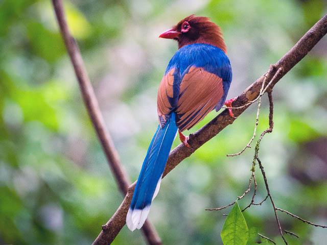 blue magpie at sinharaja forest reserve, sri lanka