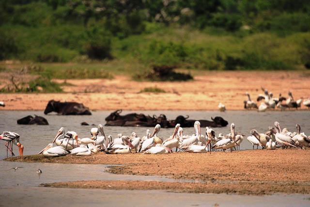 wetland birds and buffalo in bundala national park, sri lanka