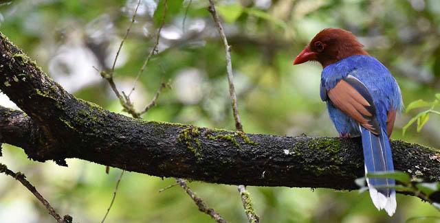 endemic bird in sinharaja forest reserve, sri lanka