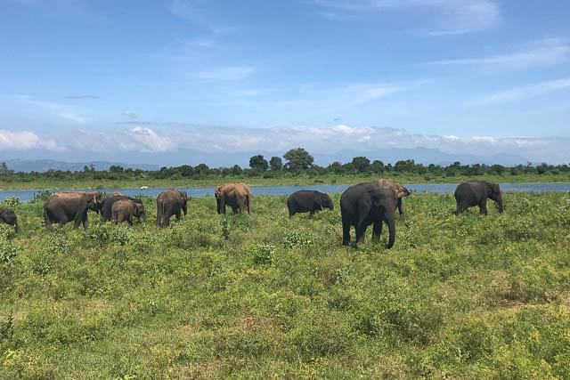 elephant herd walking on grassland in udawalawe national park in udawalawe, sri lanka