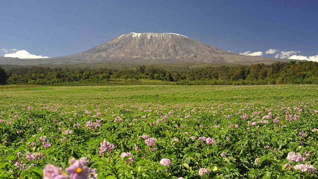 green surrounding with flowers in front of mount kilimanjaro on machame route, tanzania