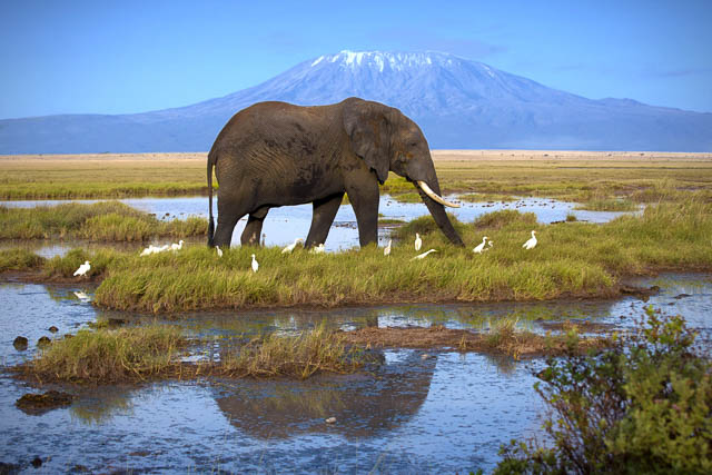 elephant at a water body on the background of mount kilimanjaro, tanzania