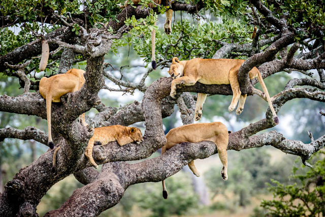 pride of lions napping on a tree in serengeti national park, tanzania