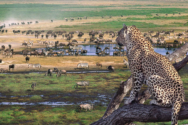 a leopard enjoying the wild view from a tree in serengeti national park, tanzania