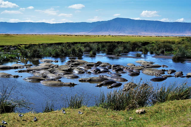 a bloat of hippos resting on a water body near ngorongoro crater, tanzania