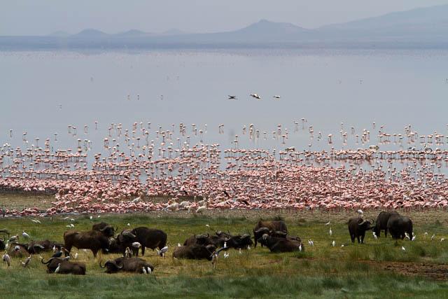 flamingos and buffalo near lake manyara, tanzania
