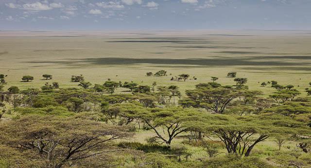 trees in serengeti savannah plains in tanzania