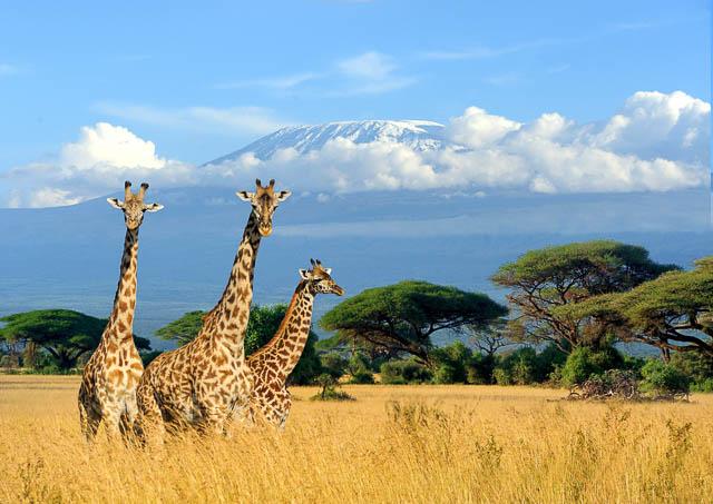 three giraffe on mount kilimanjaro background in national park of kenya, africa