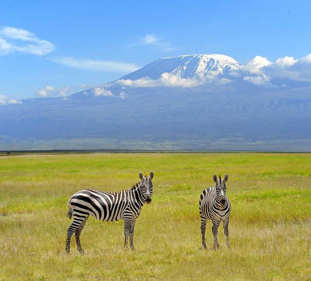 zebra on background mount kilimanjaro in the national reserve nearby, tanzania