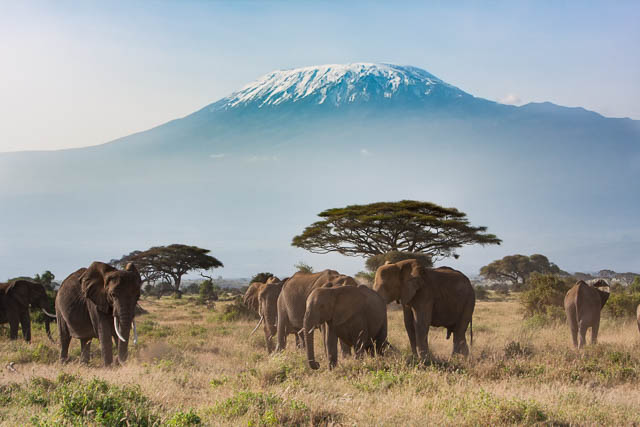 herd of elephants on grassland with mount kilimanjaro as background, tanzania