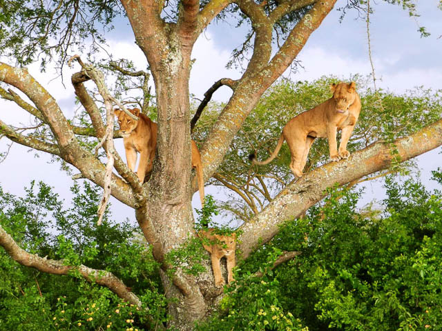 three tree-climbing lioness in queen elizabeth national park, uganda