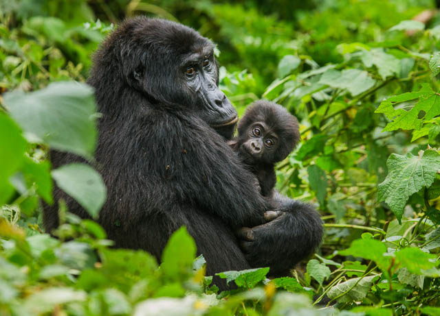 female mountain gorilla with a baby in bwindi impenetrable forest national park, uganda