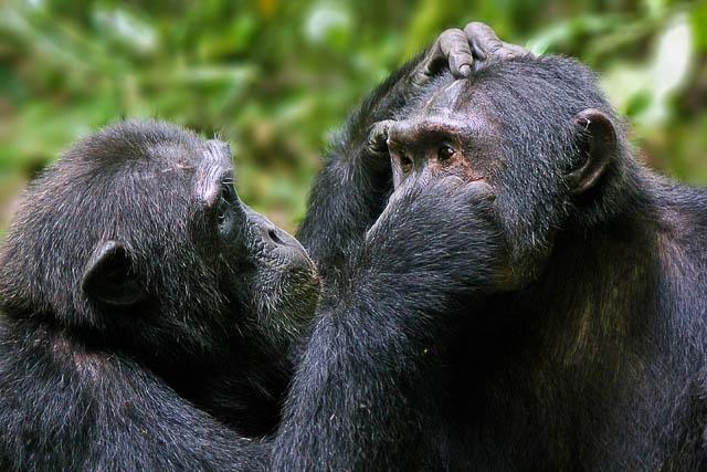 common eastern chimpanzees grooming each other in kibale national park, uganda