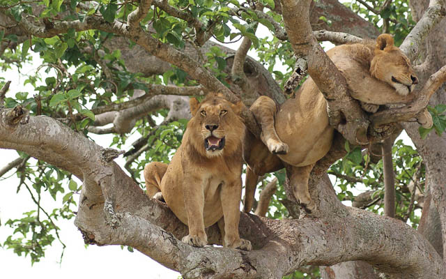 two tree climbing lions in ishasha sector of queen elizabeth national park, uganda