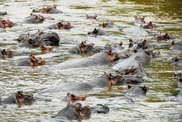 bloat of hippos relaxing on ishasha river near queen elizabeth national park, uganda