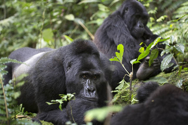 wild free roaming mountain gorillas in bwindi impenetrable national park, uganda