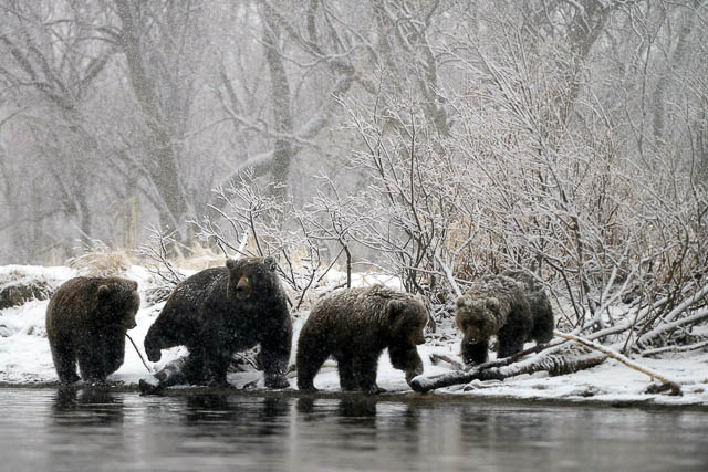group of bears near a water body in south kamchatka reserve in russia