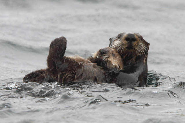 giant sea otter in the waters of kamchatka, russia