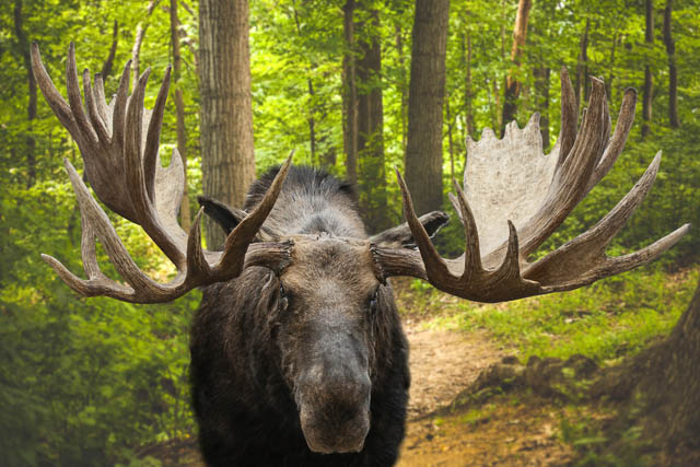 closeup of a large male moose buck standing in a forest on kamchatka, russia