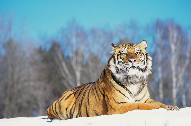 siberian tiger on snow in the jungles of siberia