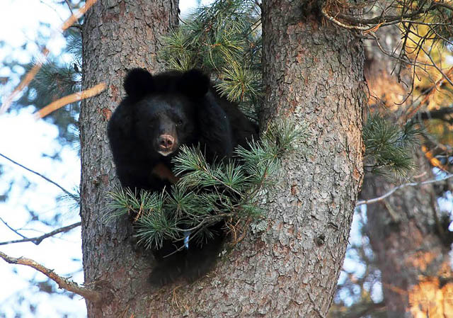 an asian black bear on a tree in the jungles of siberia