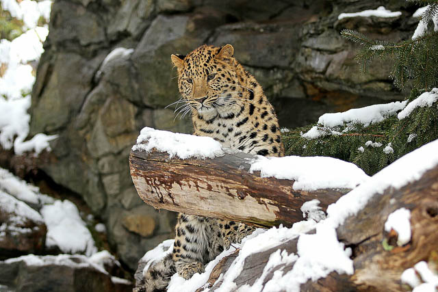 the amur leopard or snow leopard waiting for its prey in the jungles of siberia