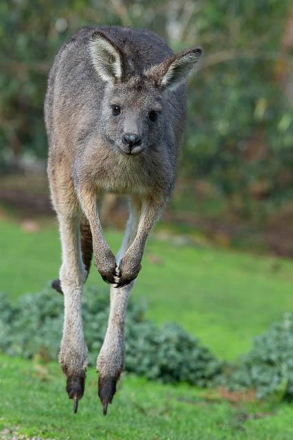 forester kangaroo jumping at narawntapu national park