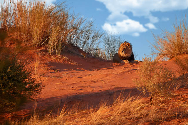 black mane kalahari lion sitting on red dunes in kalahari game reserve