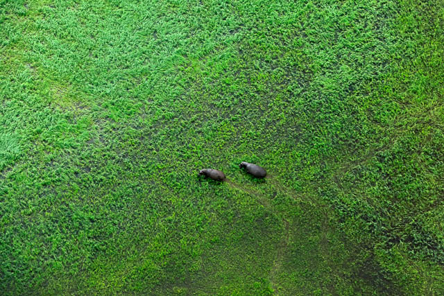 ariel view two hippos crossing okavango delta
