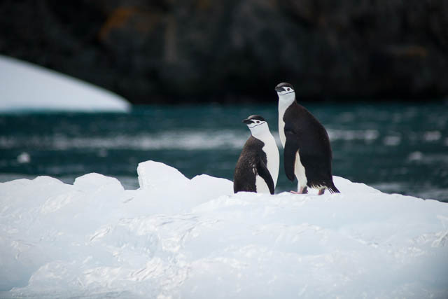 two penguins standing near a body of water in south georgia