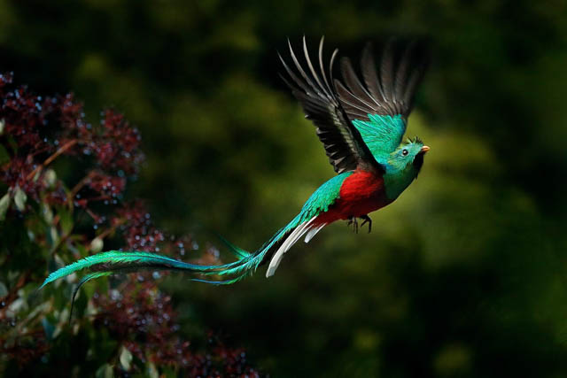 Resplendent quetzal flying in talamanca cloud forests